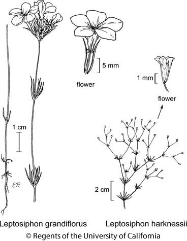 botanical illustration including Leptosiphon harknessii