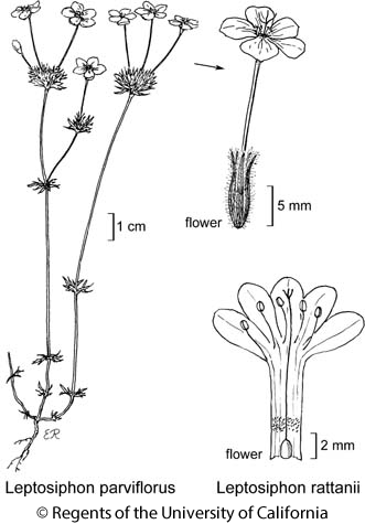 botanical illustration including Leptosiphon parviflorus