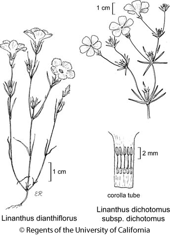 botanical illustration including Linanthus dichotomus subsp. dichotomus