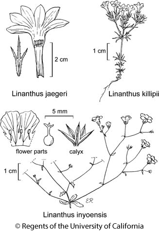 botanical illustration including Linanthus inyoensis