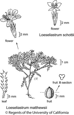 botanical illustration including Loeseliastrum matthewsii