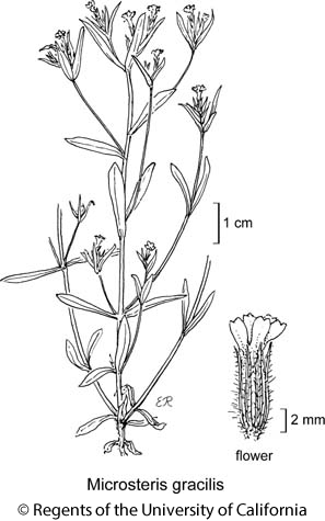 botanical illustration including Microsteris gracilis
