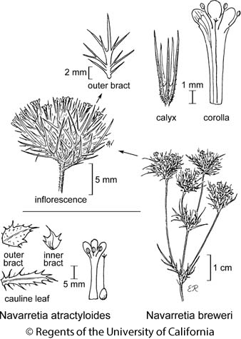 botanical illustration including Navarretia breweri