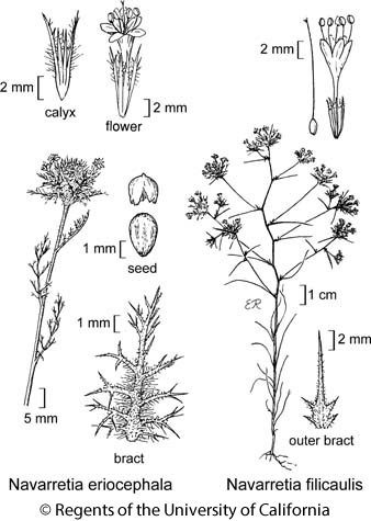 botanical illustration including Navarretia eriocephala