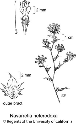 botanical illustration including Navarretia heterodoxa