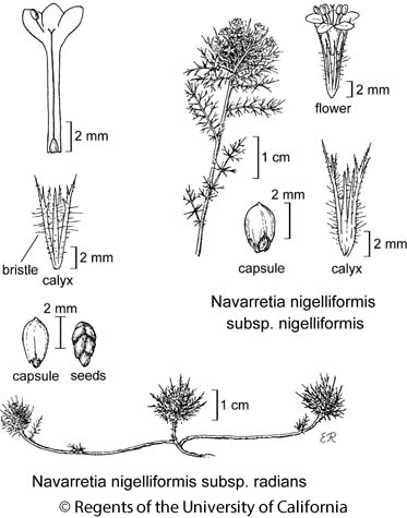 botanical illustration including Navarretia nigelliformis subsp. nigelliformis