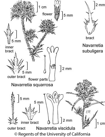 botanical illustration including Navarretia subuligera