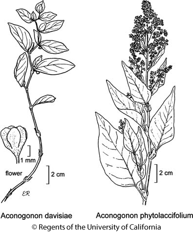 botanical illustration including Aconogonon davisiae