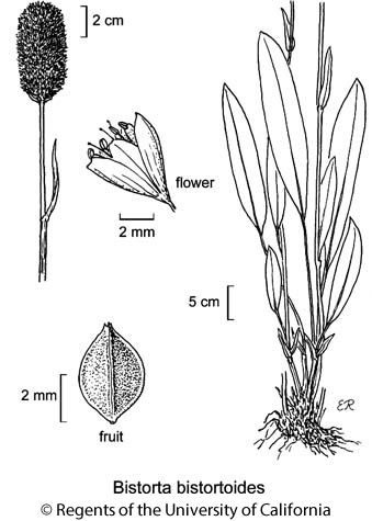 botanical illustration including Bistorta bistortoides