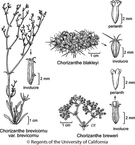 botanical illustration including Chorizanthe brevicornu var. brevicornu