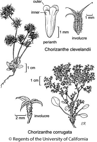 botanical illustration including Chorizanthe clevelandii