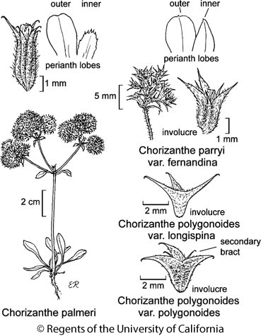 botanical illustration including Chorizanthe polygonoides var. longispina