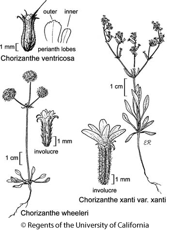 botanical illustration including Chorizanthe ventricosa