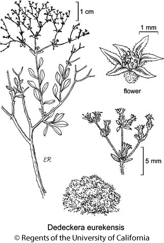botanical illustration including Dedeckera eurekensis
