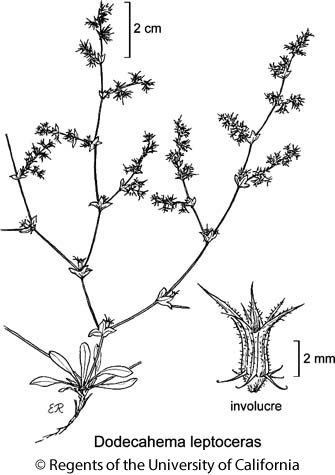 botanical illustration including Dodecahema leptoceras