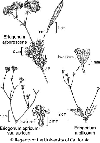 botanical illustration including Eriogonum argillosum