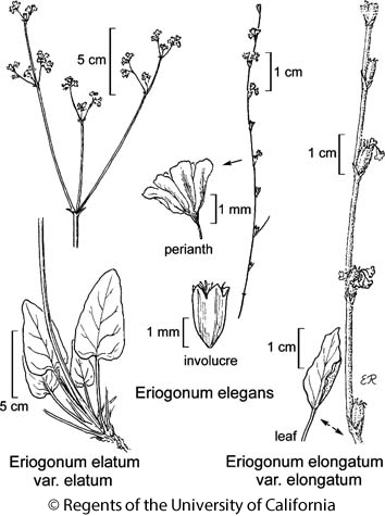 botanical illustration including Eriogonum elatum var. elatum