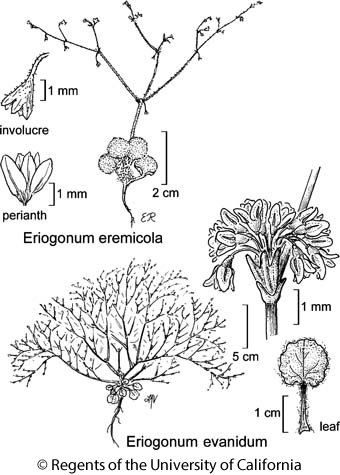 botanical illustration including Eriogonum eremicola