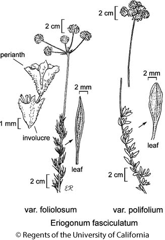 botanical illustration including Eriogonum fasciculatum var. polifolium