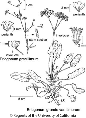 botanical illustration including Eriogonum gracillimum