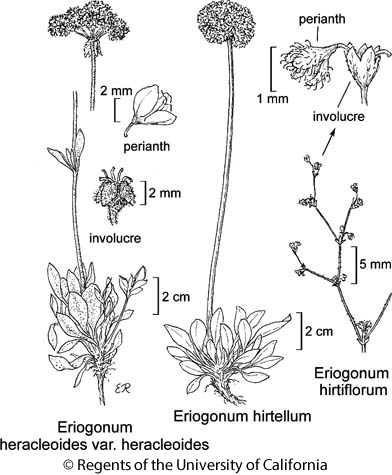 botanical illustration including Eriogonum hirtellum