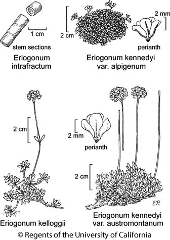 botanical illustration including Eriogonum intrafractum