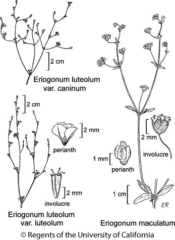 botanical illustration including Eriogonum luteolum var. luteolum
