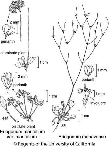 botanical illustration including Eriogonum marifolium var. marifolium