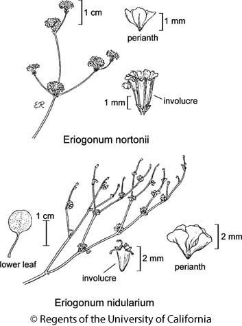 botanical illustration including Eriogonum nidularium