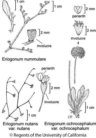 botanical illustration including Eriogonum nutans var. nutans