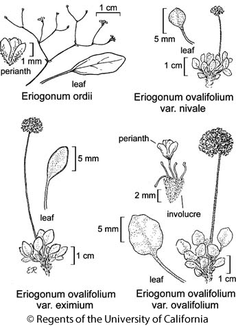botanical illustration including Eriogonum ovalifolium var. nivale
