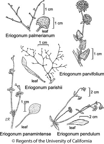 botanical illustration including Eriogonum parishii