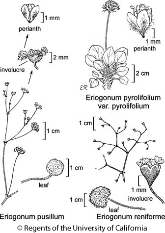 botanical illustration including Eriogonum pusillum