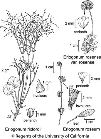 botanical illustration including Eriogonum rosense var. rosense