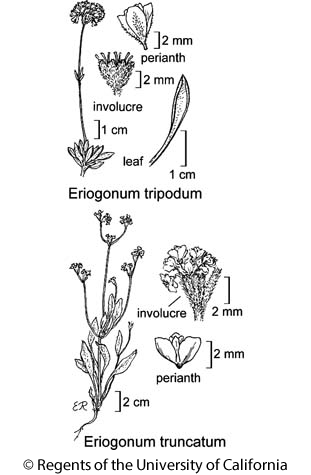botanical illustration including Eriogonum tripodum