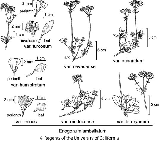 botanical illustration including Eriogonum umbellatum var. subaridum