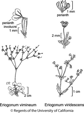 botanical illustration including Eriogonum viridescens