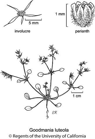 botanical illustration including Goodmania luteola