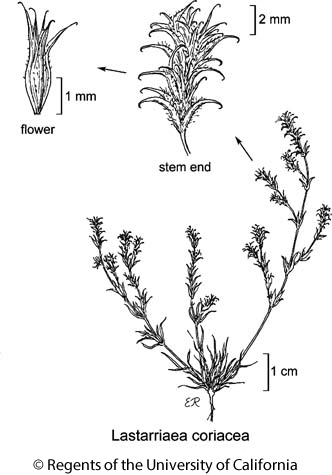 botanical illustration including Lastarriaea coriacea