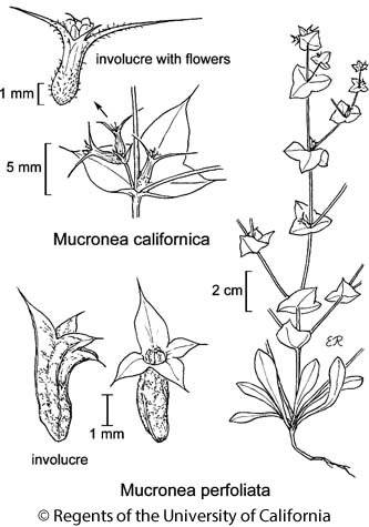 botanical illustration including Mucronea californica