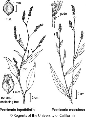 botanical illustration including Persicaria lapathifolia