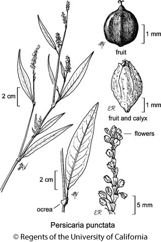 botanical illustration including Persicaria punctata