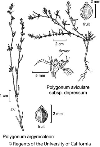 botanical illustration including Polygonum argyrocoleon