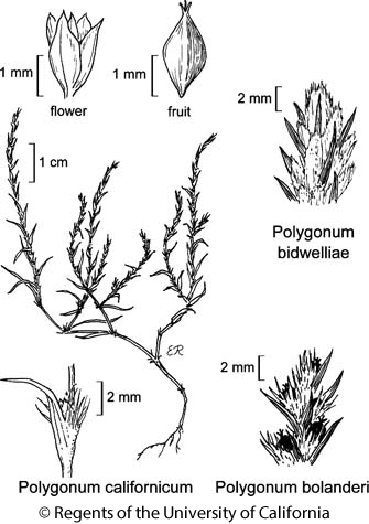 botanical illustration including Polygonum bidwelliae