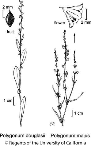 botanical illustration including Polygonum douglasii