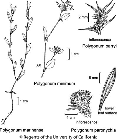 botanical illustration including Polygonum parryi