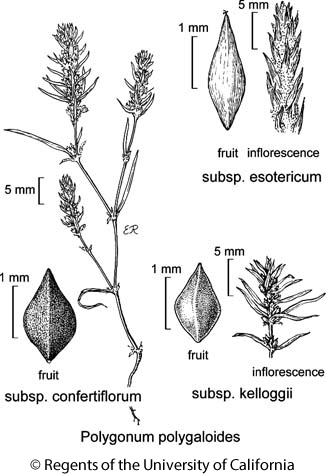 botanical illustration including Polygonum polygaloides subsp. confertiflorum
