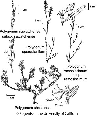 botanical illustration including Polygonum sawatchense subsp. sawatchense