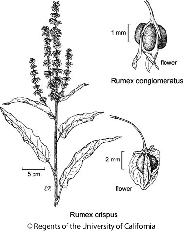 botanical illustration including Rumex crispus