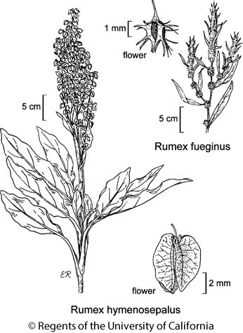 botanical illustration including Rumex fueginus